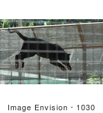 #1030 Photography of a Black Panther Jumping by Kenny Adams