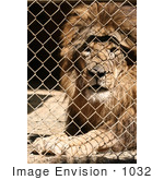 #1032 Picture of a Caged Lion by Kenny Adams