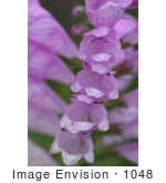 #1048 Photography of Foxglove Stalk Full of Bell-shaped Blooms by Kenny Adams