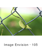 #105 Stock Photo of a Blue Sky Vine Plant Growing on a Fence by Jamie Voetsch