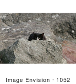 #1052 Picture Black & White Cat Hiding Behind A Rock
