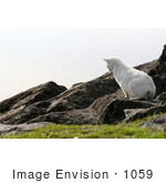 #1059 Picture Of A White Cat Hunting For Food