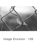 #106 Black and White Stock Image of a Blue Sky Vine Growing on a Fence by Jamie Voetsch