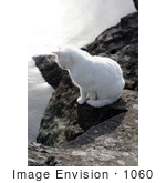 #1060 Picture Of A White Ocean Cat Looking Down From A Jetty