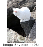 #1061 Photography Of A White Cat On A Cliff