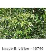 #10740 Picture of Leaves on a Raywood Ash Tree by Jamie Voetsch
