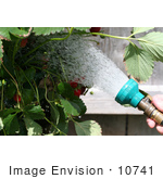 #10741 Picture of a Strawberry Plant Being Watered by Jamie Voetsch
