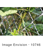 #10746 Picture of a Blackberry Vine Growing Through a Fence by Jamie Voetsch