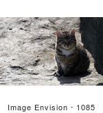 #1085 Picture of a Brown Tabby Kitten Sitting on a Boulder by Kenny Adams
