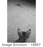 #10857 Picture Of An F4 Savannah Kitten Watching A Toy