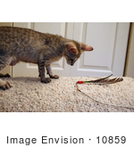 #10859 Picture Of An F4 Savannah Kitten Playing