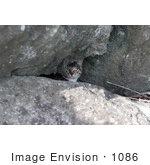 #1086 Picture Of A Tabby Kitten Behind Boulders