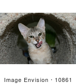 #10861 Picture Of An F4 Savannah Kitten Licking His Chops