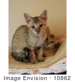 #10862 Picture Of 2 Savannah Kittens