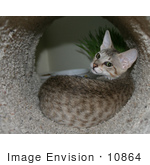 #10864 Picture Of An F4 Savannah Kitten In A Cat Tunnel