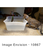 #10867 Picture Of F4 Savannah Kittens Playing With Water