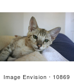 #10869 Picture Of An F4 Savannah Kitten With Green Eyes