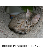 #10870 Picture Of An F4 Savannah Kitten Grooming In A Tunnel