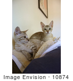 #10874 Picture Of Two F4 Savannah Kittens On A Heating Pad