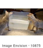 #10875 Picture Of F4 Savannah Kittens Playing In Water