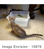 #10876 Picture Of Kittens Playing With A Feather And Water