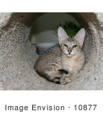 #10877 Picture Of An F4 Savannah Kitten In A Tunnel