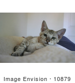#10879 Picture of an F4 Savannah Kitten Resting by Jamie Voetsch