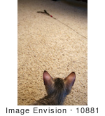 #10881 Picture Of An F4 Savannah Kitten Stalking A Toy