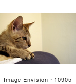 #10905 Picture Of A Kitten In Profile
