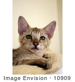 #10909 Picture Of A Male Savannah Kitten