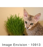 #10913 Picture Of A Savannah Kitten With Wheatgrass