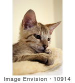 #10914 Picture of a Curious Savannah Kitten by Jamie Voetsch