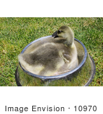 #10970 Picture of an African Gosling (Anser cygnoides) by Jamie Voetsch