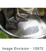 #10972 Picture Of An African Gosling In A Water Dish