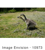 #10973 Picture Of Two African Goslings