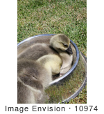 #10974 Picture Of African Goslings (Anser Cygnoides)