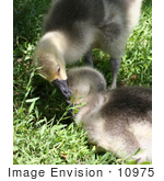 #10975 Picture Of African Geese Goslings