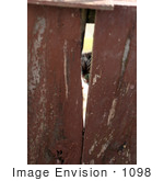 #1098 Picture of a Cat Peeking Through a Fence by Kenny Adams
