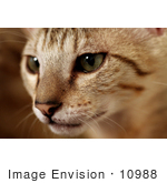 #10988 Picture Of A F4 Savannah Kitten Preparing To Attack