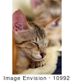 #10992 Picture Of Savannah Kittens Sleeping On A Heating Pad
