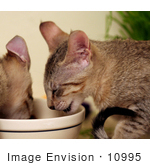 #10995 Picture Of Kittens Eating