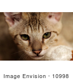 #10998 Picture of a Kitten Face by Jamie Voetsch