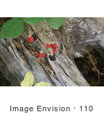 #110 Stock Photo Of Wild Blackberries Over A Wooden Stump