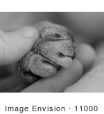#11000 Picture of a Cat's Paw in a Human Hand by Jamie Voetsch