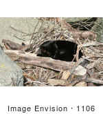 #1106 Picture of a Black Cat Sleeping on Drift Wood and Branches by Kenny Adams