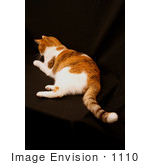 #1110 Image of a Calico Cat on a Black Background by Jamie Voetsch