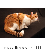 #1111 Photograph of a Calico Cat by Jamie Voetsch