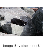 #1116 Picture of a Black & White Cat on Large Boulders by Kenny Adams