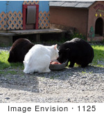 #1125 Picture Of Stray Cats Eating