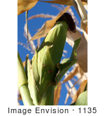 #1135 Picture Of A Corn Ear Against Blue Sky